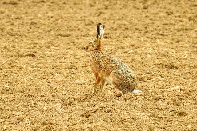 profil zajíce